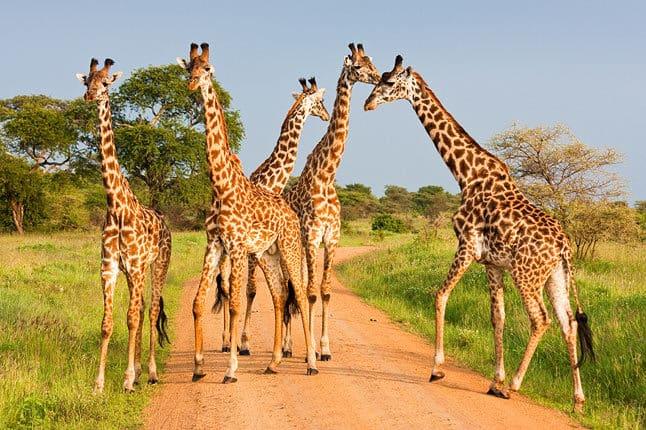 Tarangire-National-Park-Giraffes