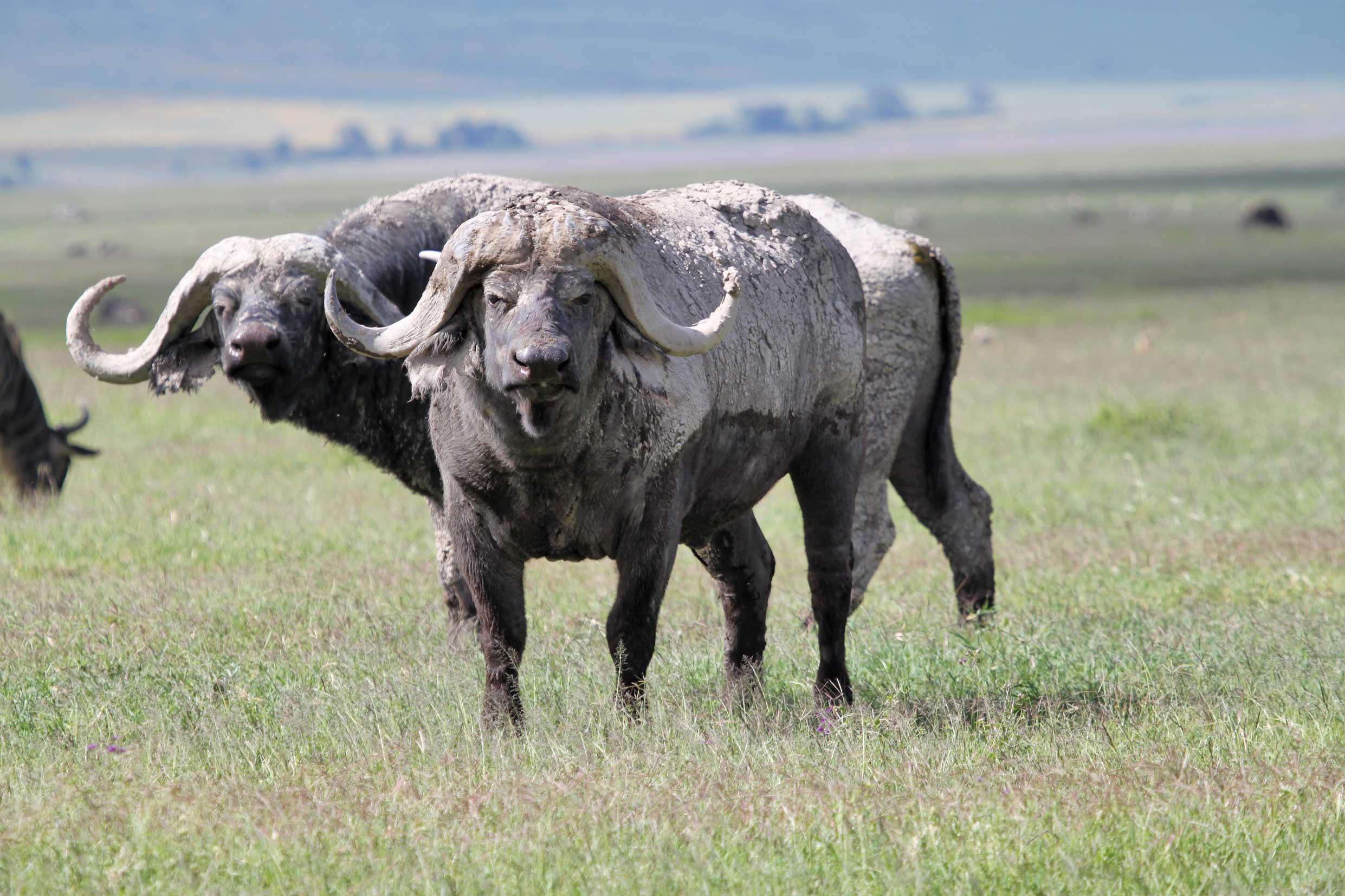 african-buffalo-ngorongoro-crater